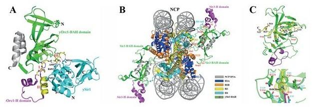 生物物理所发表bah结构域研究综述文章